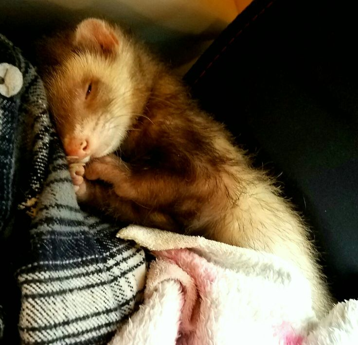 Best Ferrets Images On Pinterest Ferrets Funny Ferrets And - Rescued kitten adopted by ferrets now thinks shes a ferret too