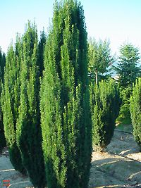 Taxus baccata 'Fastigiata' [60-80cm/24€, 80-100cm/28€, 100-125cm/40€, ...] Mehr Infos: http://www.pflanzen-ries.de/Gartencenter_Muenchen/Blumen_Pflanzen/Gartenplanung/Baeume/Baumschule-Gartenbau/lexikon.php?id=2533 - http://www.heckenpflanzen.de/taxus-baccata-fastigiata