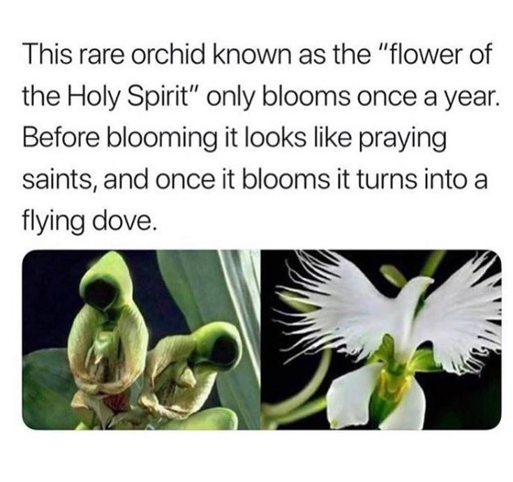 Rare Orchid Flower Of The Holy Spirit Rare Orchids Fun Facts Plants