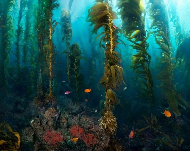 41 best images about Kelp Forest on Pinterest | Seaweed ...