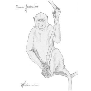 Longtailed Macaque #art #sketch #illustration #drawing #animals #wildlife #monkey #stoneage