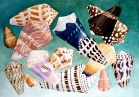 Cone Shells of the Seychelles  45x60cm. watercolor