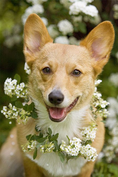 Pembroke Welsh Corgi Dog Breed Details
