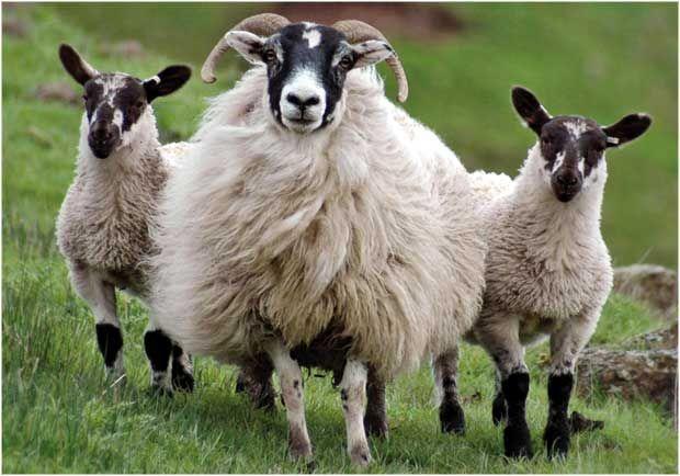 "Cachet (UK) Ltd ""Spring Lambs"" Greeting Card"