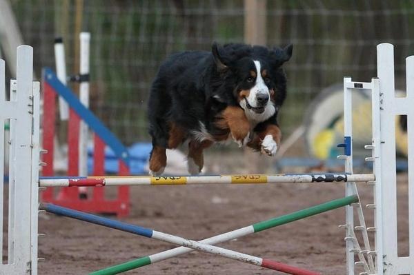 Henry, Bernese Mountain Dog, doing agility!