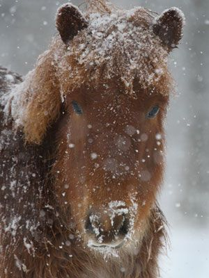 Icelandic Horse For Sale