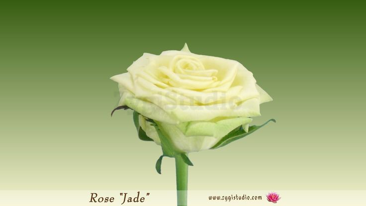 """Timelapse of Opening Green """"Jade"""" Rose with ALPHA"""