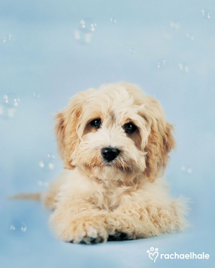 Cavoodle Puppies for Sale Pines Pets Puppies for sale