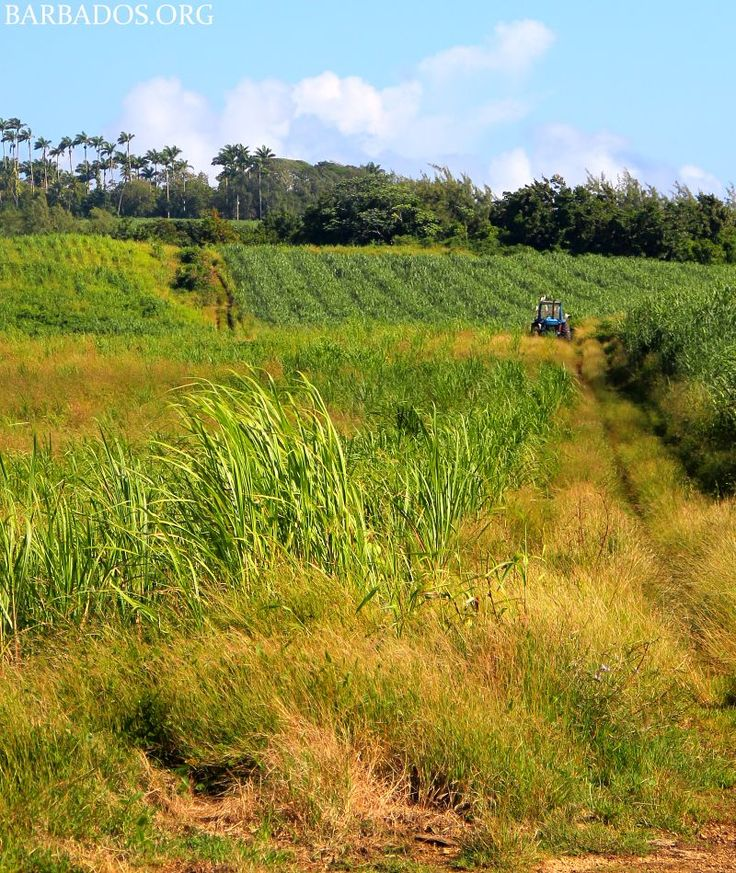 More than just beautiful beaches, Barbados also has lush countryside to explore.Between Feb and Apr, sugar cane is harvested and sent to the sugar factory destined to become sugar, molasses and of course rum!