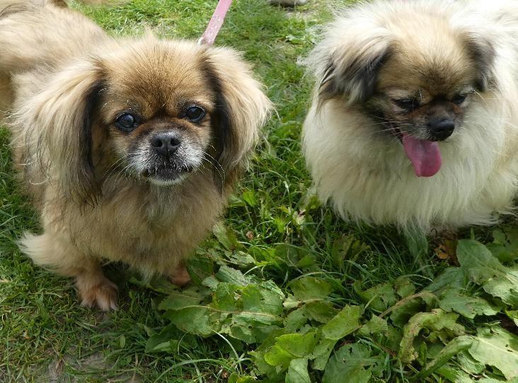 Jodie And Narla Tibetan Spaniel Find A Pet Rspca Org Uk With Images Tibetan Spaniel Pets Spaniel