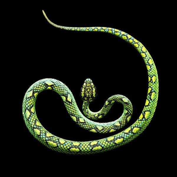 Serpientes venenosas  Estas fotografías son una muestra de la capacidad expresiva del fotógrafo Mark Laita trabajando con estos animales.   Son parte de su último trabajo Serpentine, en el que ha fotografiado a las 100 serpientes más venenosas del mundo.
