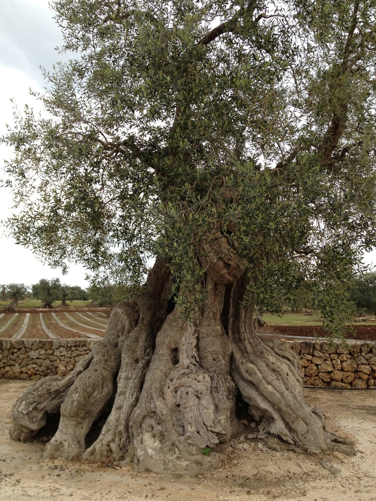 2,000 year old olive tree in Brindisi, Italy  It's a giant bonsai