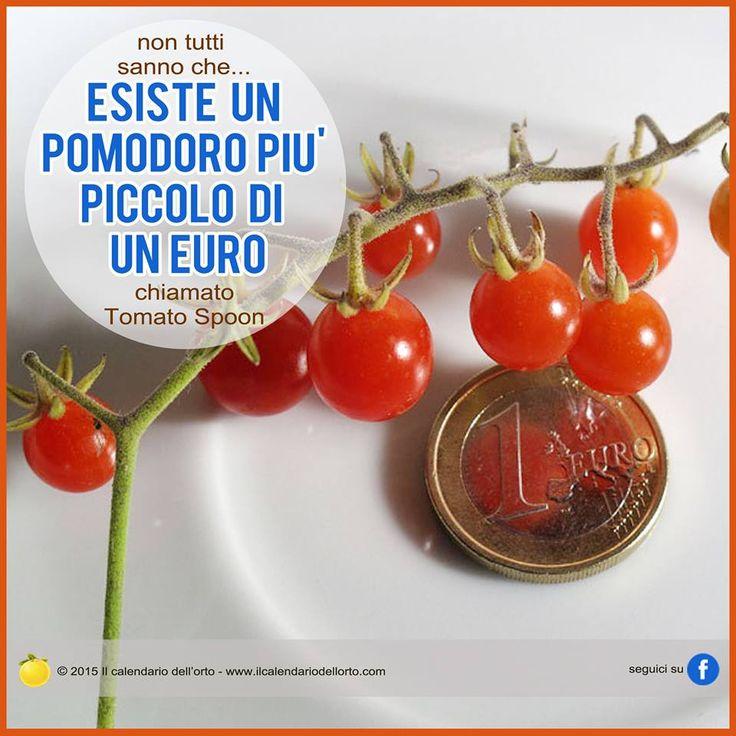 Esiste un pomodoro più piccolo di un euro chiamato Tomato Spoon