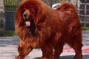 El mastín tibetano es el perro más caro del mundo ¿Cuanto llegarías a pagar por tenerlo?