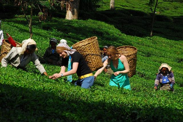 trying out tea picking on glenburn tea estate