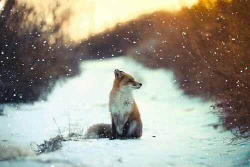 Śliczny lis #animals #winter #nature #shot #fox