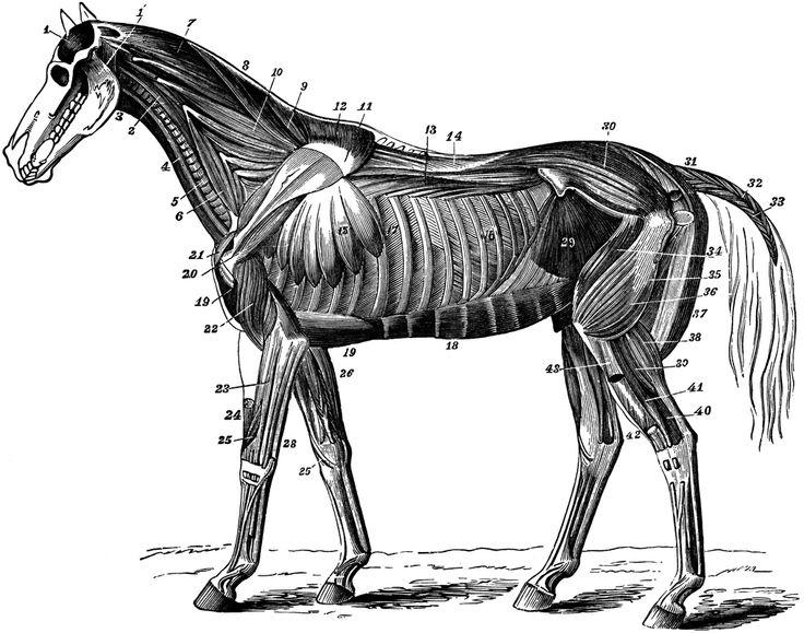 The 70 best Anatomie Animaux images on Pinterest   Animal anatomy ...