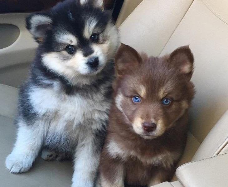 Pomsky Puppies Must Know Information Pomsky Puppies Pomsky