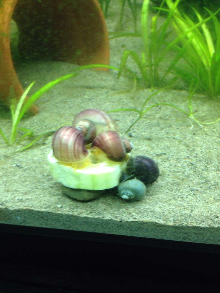 1000 images about mystery snails on pinterest auction for Fish tank snails