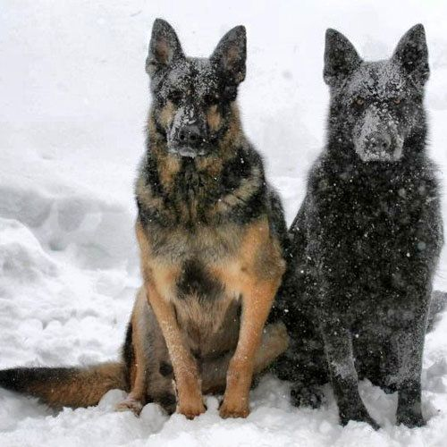 #German #Shepherds