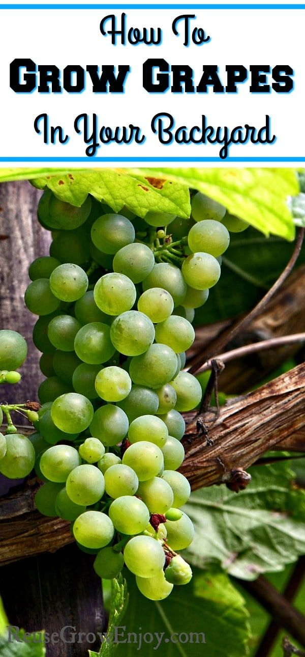 Do you grow grapes? Did you know you can do it right in your backyard? Check out these tips on How To Grow Grapes In Your Backyard!