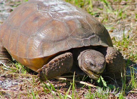 Let's Go Wild — Gopher Tortoise,Gopherus polyphemus The Gopher...