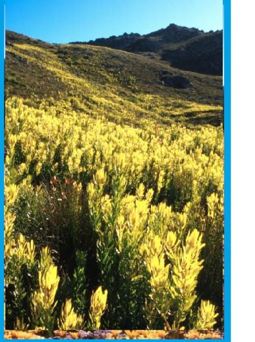 A stand of Leucadendron microcephalum on the Groenlandberg Mountains, Western Cape