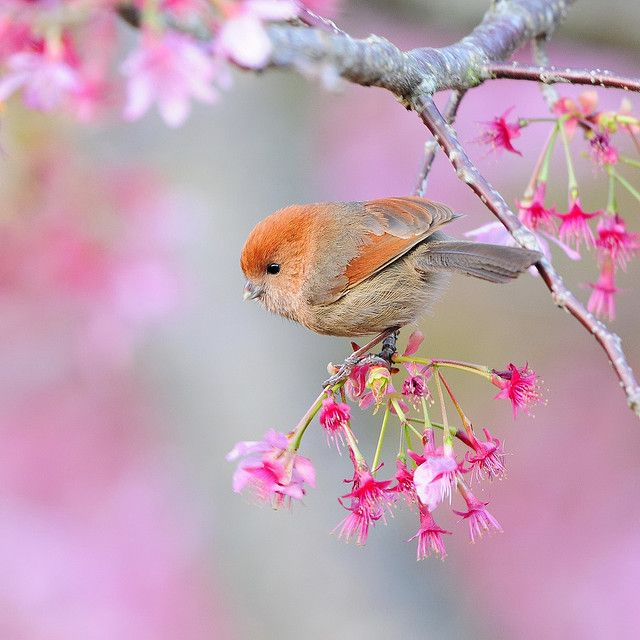 Little Vinous-throated Parrotbill bird on pink spring blossoms. Photo by Sushyue Liao, mirror_lake on Flickr
