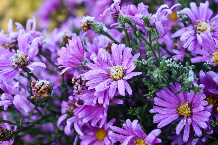Frosted purple daisies