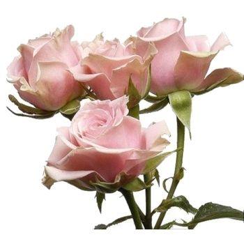 light pink spray rose - sweet sensation