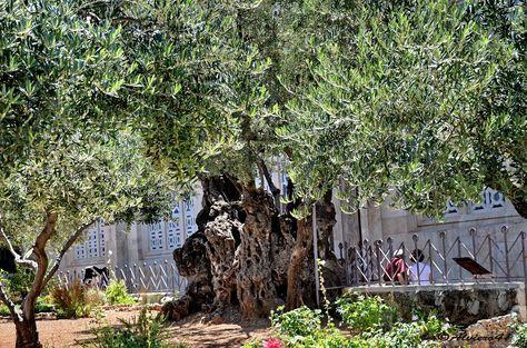 """https://flic.kr/p/fQgMFq   GERUSALEMME - Israele   """"Giardino del Getsemani"""".....Ulivo che,si suppone, fosse già adulto all'epoca in cui vi giunse Gesù con i suoi discepoli..."""
