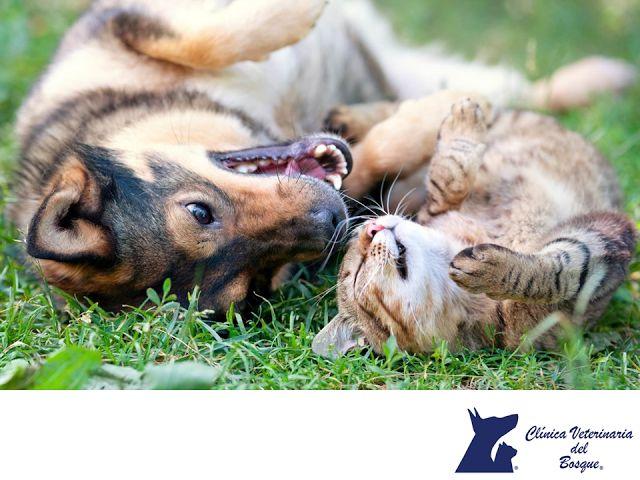 CLÍNICA VETERINARIA DEL BOSQUE. Cuando se tienen diferentes tipos de mascotas, es importante que tengan una buena relación ya que compartirán el mismo espacio. En mascotas que se mantienen en jaulas, como canarios o hámsteres, no hay tanto problema, pero las que conviven en un espacio en común puede complicarse. Solo es cuestión de tener paciencia y tenerlos vigilados. En Clínica Veterinaria del Bosquete decimos cómo lograrlo. www.veterinariadelbosque.com