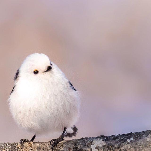 シマエナガ 野鳥 野鳥倶楽部 Bird Wildbird シマエナガ 可愛い鳥 小鳥 イラスト