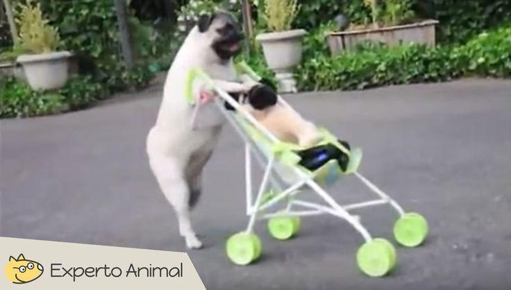 Hay muchos perros divertidos y locos que nos hacen pasar un buen rato mientras miramos estos vídeos de mascotas. There are many funny and crazy dogs that mak...