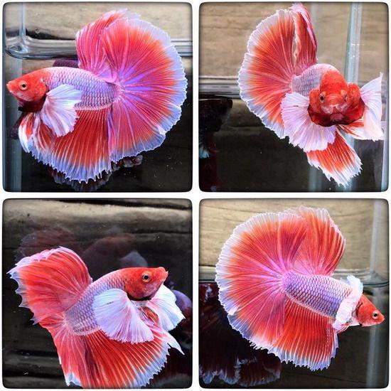 ป กพ นโดย Marianne Sans ใน Beautiful Betta Fish ปลาก ด