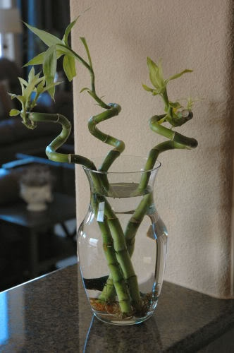 lucky bamboo.  Always remember, 3 stalks of bamboo! No more no less...