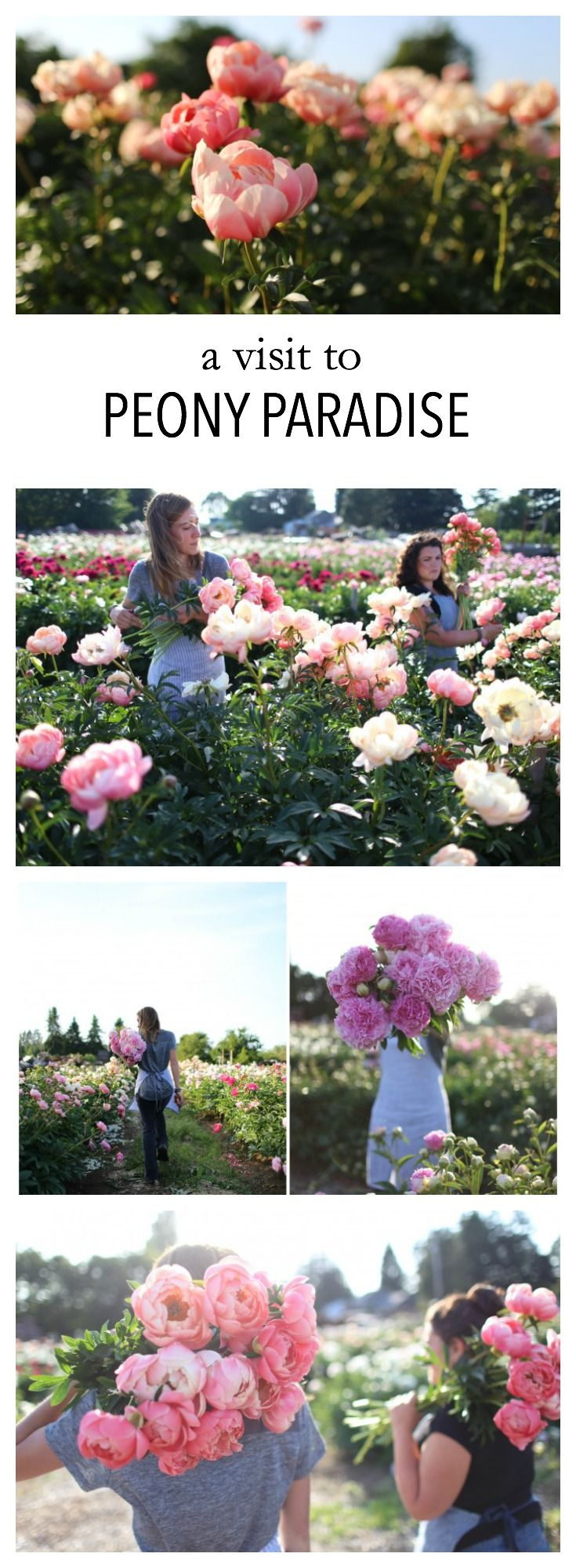 Excerpt from Floret's peony farm field trip:  We saw row after row of fully blown peonies, sparkling in the late day sun. Getting to know local growers, seeing their farms and hearing their passion for growing is a life altering experience. Years and years of hard work, love and dedication all in full bloom before your eyes. You'll never see flowers the same way again. #farmerflorist