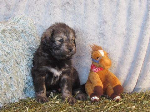 Litter of 7 Tibetan Mastiff puppies for sale in LAWSON, MO. ADN-66085 on PuppyFinder.com Gender: Male. Age: 5 Weeks Old