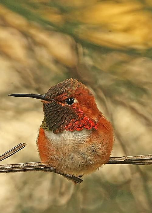 Rufous Hummingbird Sitting by Peggy Collins