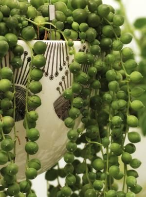 String of Pearls is a toxic plant. Every part of this plant is toxic, which is why it should be kept out of the reach of children and pets.