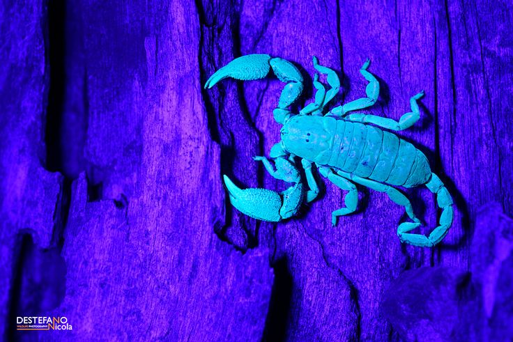 https://flic.kr/p/xTrsYo | Opisthacanthus asper - Ultraviolet Light | Opisthacanthus asper, Scorpion  Kruger NP, South Africa