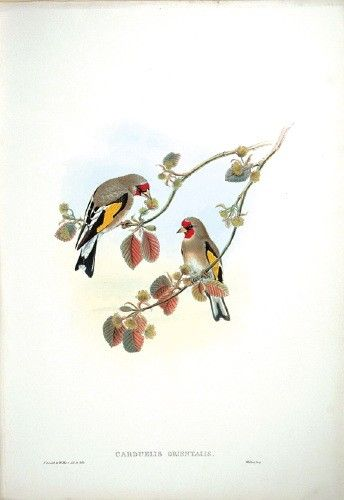 Hart after Gould Eastern Goldfinch (Carduelis orientalis) An original lithograph with later hand-colour for Gould's Birds of Asia, 1850-83