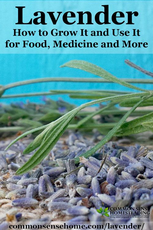 Easy tips for growing lavender and helping your lavender plants to thrive, and some of my favorite lavender uses for food, medicine and more.