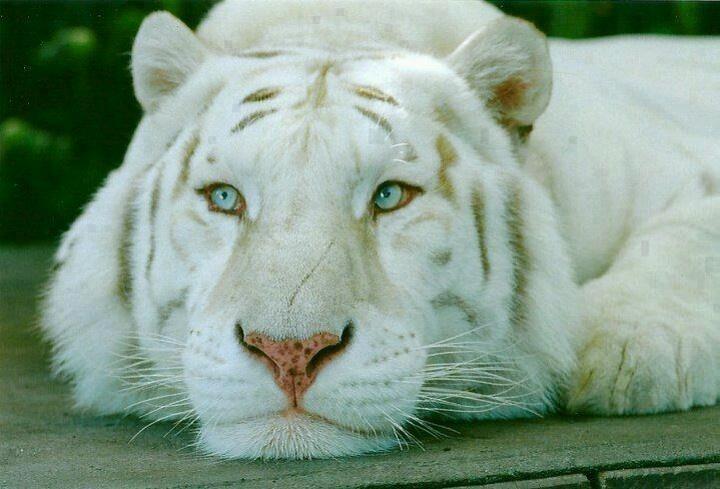 wild animal white - photo #23
