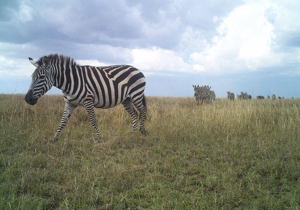 Zebra parade!