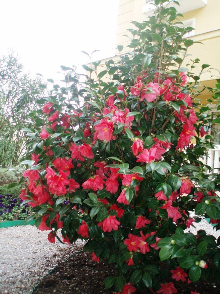 Camellia japonica, se planteaza spre sf verii, nu suporta vantul
