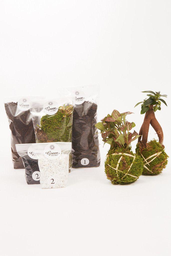 Kit Terrarium Humide Ficus et Fittonia Rouge | GREEN FACTORY