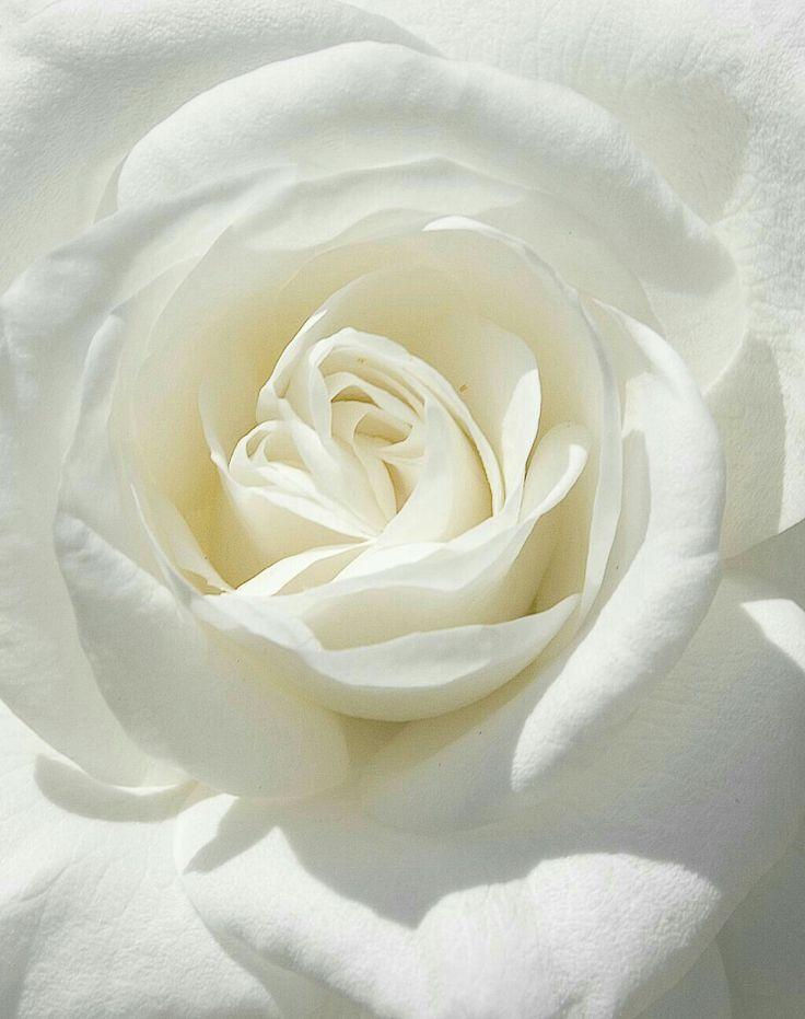 картинка на телефон белые розы