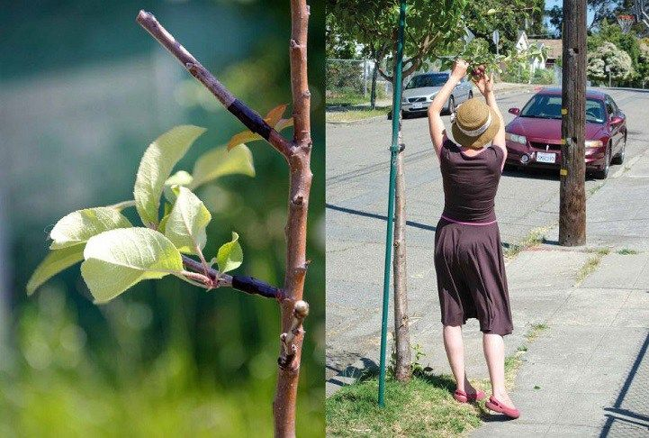 """Desde el 2011, el grupo conocido """"Guerrilla Grafters"""" viene secretamente (e ilegalmente) modificando árboles ornamentales a lo largo de las calles de San Francisco. Estos amantes de la fruta tienen como misión injertar variedades frutales productivas en los árboles ornamentales de l"""