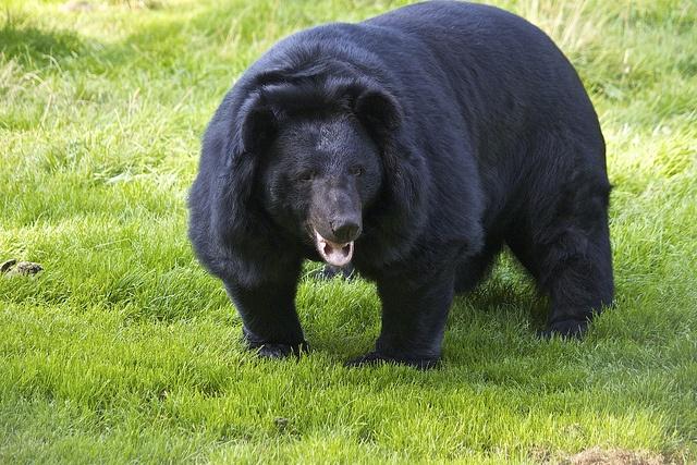 Asian black bear by Missud, via Flickr